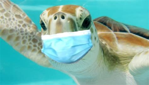 Turtle wearing a mask