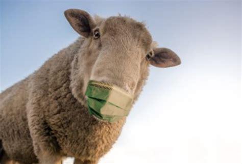 sheep wearing a mask