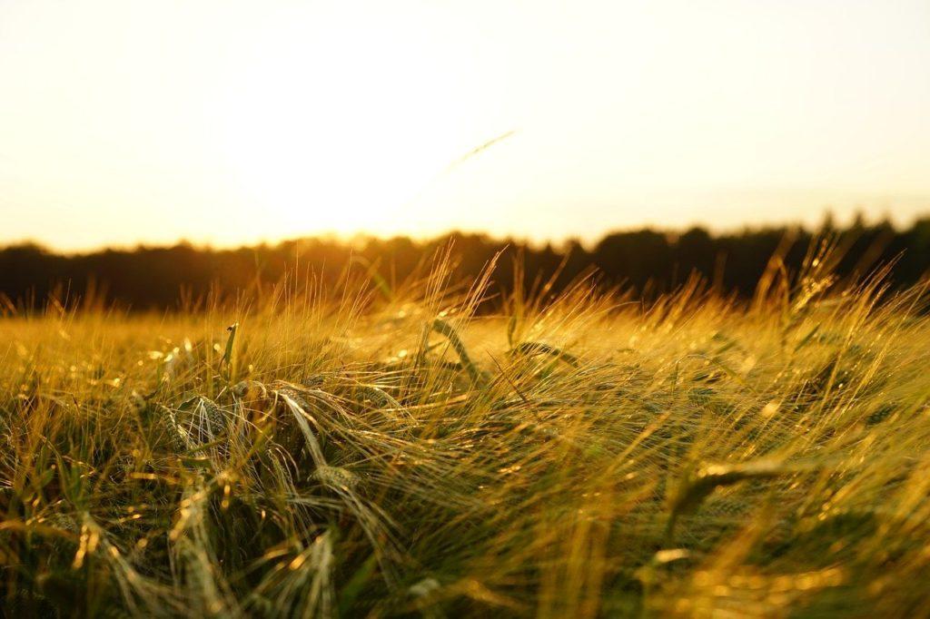 farmland crops barley
