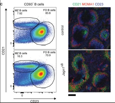 Altered splenic B cell homeostatis Journal of Experimental Medicine