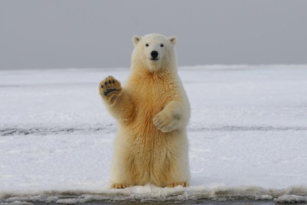 Polar bear (waving) Photo by Hans-Jurgen Mager on Unsplash