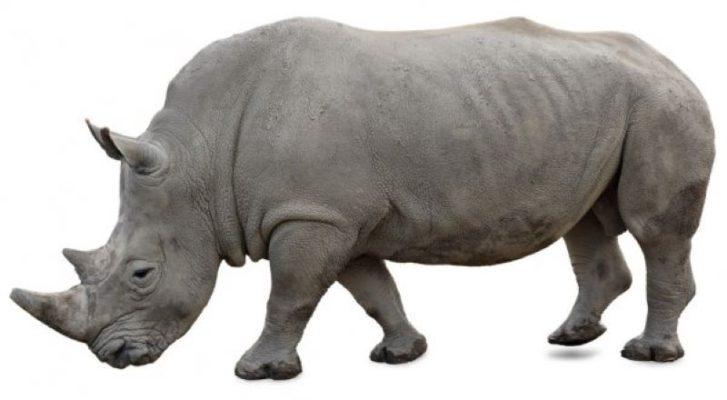 depositphotos_13870276-stock-photo-a-white-rhino-on-a
